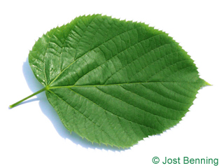 The cordiforme leaf of Large Leaved American Lime