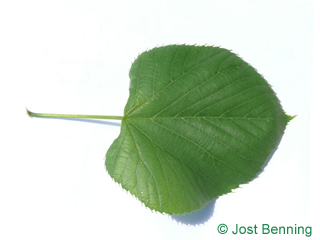 The cordiforme leaf of tilleul d'amérique
