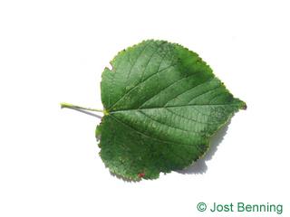 The cordiforme leaf of tilleul à petites feuilles