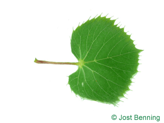 The cordiforme leaf of Henry's Lime