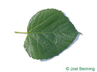 The cordiforme leaf of tilleul à grandes feuilles