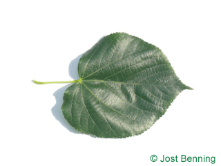 The cordiforme leaf of tilleul de crimée