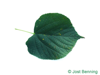 The cordiforme leaf of tilleul commun