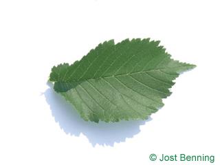 The ovoïde leaf of orme blanc | orme de montagne