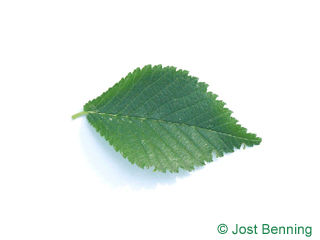 The ovoïde leaf of Dutch Elm