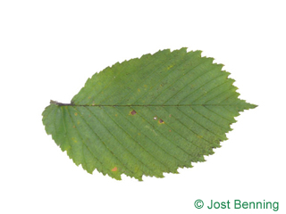 The ovoïde leaf of European White Elm